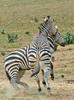 Play Fighting Burchell's Zebra (Equus burchellii) - Burchell's Zebra (Equus burchellii) fight 5