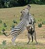 Play Fighting Burchell's Zebra (Equus burchellii) - Burchell's Zebra (Equus burchellii) fight 6