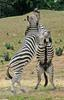 Play Fighting Burchell's Zebra (Equus burchellii) - Burchell's Zebra (Equus burchellii) fight 7