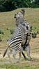 Play Fighting Burchell's Zebra (Equus burchellii) - Burchell's Zebra (Equus burchellii) fight 8
