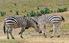 Play Fighting Burchell's Zebra (Equus burchellii) - Burchell's Zebra (Equus burchellii) fight 9