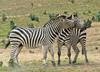 Play Fighting Burchell's Zebra (Equus burchellii) - Burchell's Zebra (Equus burchellii) fight 1