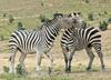 Play Fighting Burchell's Zebra (Equus burchellii) - Burchell's Zebra (Equus burchellii) fight 2