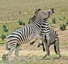 Play Fighting Burchell's Zebra (Equus burchellii) - Burchell's Zebra (Equus burchellii) fight 3