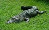 Some Gators - American Alligator (Alligator mississipiensis)0001