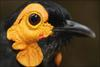 Papua's 'lost world' - Smoky Honeyeater [BBC 2006-09-18]