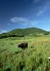 Okinawa - water buffalo