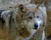 Critters - Mexican Wolf (Canis lupus baileyi)200