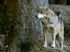 Critters - Mexican Wolf (Canis lupus baileyi)201