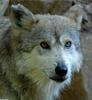 Critters - Mexican Wolf (Canis lupus baileyi)202