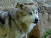 Critters - Mexican Wolf (Canis lupus baileyi)203