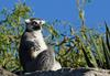 Critters - Ring Tailed Lemur (Lemur catta)