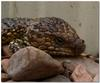 sleepy shingleback lizard 2