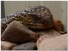 sleepy shingleback lizard 3