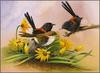 Eric Shepherd - Australian Birds 2007 - Red-Backed Wrens