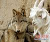 Wolf-goat friendship [Xinhua 2006-11-16]