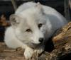 Beauty and -- Arctic fox (Alopex lagopus)