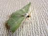 Moth with jade green color