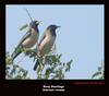 Rosy Starling, Copyrights  2007 , Maulik Suthar