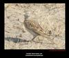 Greater Short toed Lark, Copyrights  2007 , Maulik Suthar