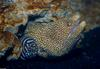 Whitemouth Moray Eel (Gymnothorax meleagris) with Zebra Moray (Gymnomuraena zebra)