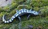 Warm Winter Days in the Woods - Marbled Salamander