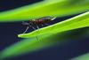Virulent Hessian Flies Renew Attack On U.S. Wheat [ScienceDaily 2007-01-28]