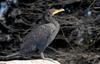 Double-crested Cormorant (Phalacrocorax auritus)001