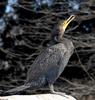 Double-crested Cormorant (Phalacrocorax auritus)002