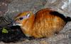 Larger Malay Chevrotain (Mouse Deer) (Tragulus napu)001