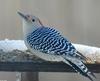 Red-bellied Woodpecker (Melanerpes carolinus) Female-100
