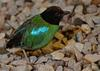 Hooded Pitta (Pitta sordida)009