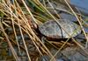 Signs of Spring - Spotted Turtle (Clemmys guttata)002