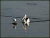 Australian pelican and gull