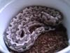 Soloman Island Ground Boa