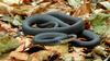 Northern Black Racer(Coluber constrictor constrictor)026