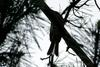 Bird silhouette (Brown-eared Bulbul)