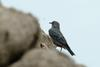 Female Blue Rock-Thrush
