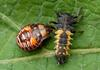An immature Two Spotted Stink Bug (Perillus bioculatus) feeding on a Nine-Spotted Ladybird Beetl...