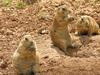 Black Tailed Prairie Dogs