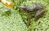 Walk in the Swamp - Northern Green Frog (Rana clamitans melanota) 1000
