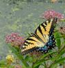 Walk in the Swamp - Tiger Swallowtail (Papilio glaucus)1014