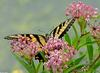 Walk in the Swamp - Tiger Swallowtail (Papilio glaucus)1015