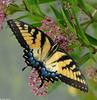 Walk in the Swamp - Tiger Swallowtail (Papilio glaucus)1016