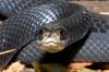 Northern Black Racer (Coluber constrictor constrictor)0003