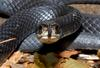 Northern Black Racer (Coluber constrictor constrictor)0004