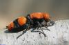 Velvet Ant aka Cow Killer (Dasymutilla occidentalis)