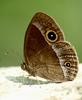 Lilacine Bushbrown Butterfly, Mycalesis francisca