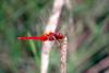 Cute red dragonfly - Scarlet Skimmer (Crocothemis servilia)