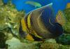 Cortez Angelfish (Pomacanthus zonipectus)1000
